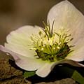 Lenten Rose by Daniel G Walczyk