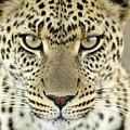 Leopard Panthera Pardus Female by Martin Van Lokven