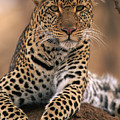 Leopard Panthera Pardus, Masai Mara by Anup Shah