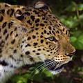 Leopard by Steve Stuller