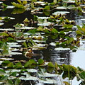 Lilly Pads by Terry Anderson