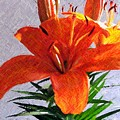 Lily In Color Pencil by Judy  Waller