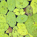 Lily Pads by Jessica Wakefield