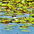 Lily Pond by Bill Cannon