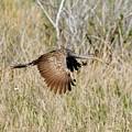 Limpkin In Flight by John R Young Jr