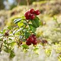 Lingonberries 1 by Jouko Lehto