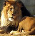 Lion 2 Washington D.c. National Zoo by Richard Singleton