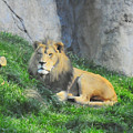 Lion At Leisure by Ronnie Hocutt