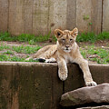 Lion Cub by Christina Durity