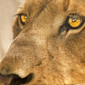 Lion Face by Carolyn Marshall