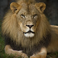 Lion In Repose by Warren Sarle
