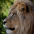 Lion Portrait Of A Leader by Robin Frazier