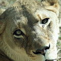 Lioness Up Close by Ronald Reid
