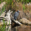 Little Blue Heron by LaDora Sims
