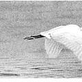 Little Egret by Scott Woyak