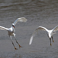 Little Egrets In Flight by Bob Kemp