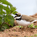Little Ringed Plover by Bob Kemp
