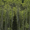 Lone Evergreen Amongst Aspen Trees by Raymond Gehman