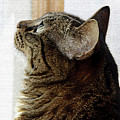 Look Out Window Tabby Cat by Andee Design