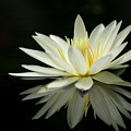 Lotus And Reflection by Angie Bechanan