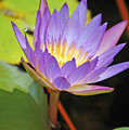 Lotus Flower by Donna Bentley