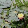 Lotus Flower by Jeff Wilson