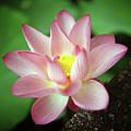 Lotus Flower by Yoshika Sakai