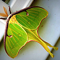 Luna Moth by Cricket Hackmann