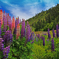 Lupine by Lee Amerson