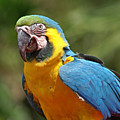 Macaw by Heather Coen