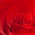 Macro Red Rose by Svetlana Sewell