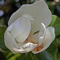 Magnolia No 6 by Edward Ruth