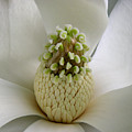 Magnolia Open by Lucyna A M Green