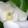 Magnolia Protected by Lucyna A M Green