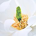 Magnolia by Tania Kay