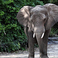 Majestic African Elephant by Mary Haber