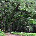 Majestic Fern Covered Oak by Barbara Bowen