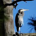 Majestic Great Blue Heron by Ben Upham III