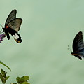 Male And Female Great Mormon Butterflies Hovering Over A Wildflower by Sami Sarkis
