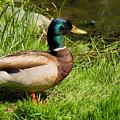 Mallard Duck by Rosalie Scanlon
