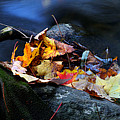 Maple Leaves-0004 by Sean Shaw