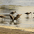 Marbled Godwit Birds At Sunset by Christine Till