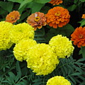 Marigold And Zinnias by Usha Shantharam