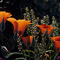 Mariposa Lily by John Gee