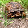 Maryland Box Turtle by Joshua Bales