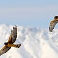 Mating Pair Harrier Hawks by Dennis Hammer