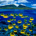 Maui Butterflyfish by Dave Fleetham - Printscapes