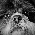 Max - A Shih Tzu Portrait by  Onyonet  Photo Studios