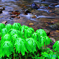 Mayapples And Middle Fork  by Thomas R Fletcher