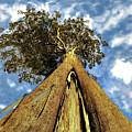 Mayflies On The Eucalyptus Viminalis by Sarah King